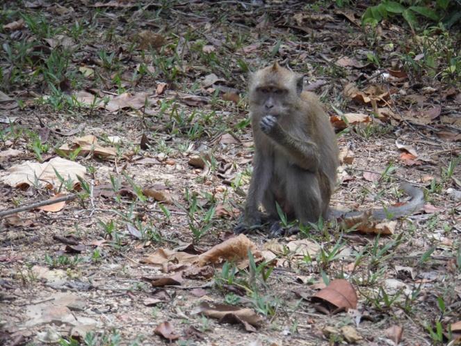 Monkey, Koh Lanta, Thailand