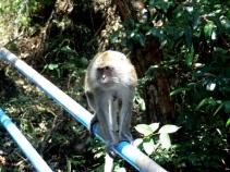 monkey, tiger cave temple, krabi, thailand