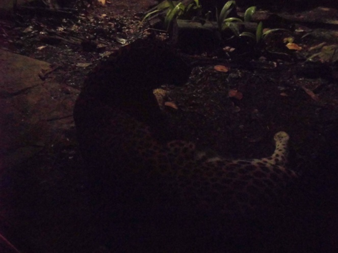 Leopard, night safari, Singapore Zoo