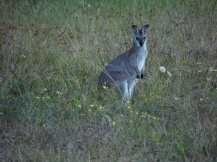 Wallaby, New South Wales, Australia