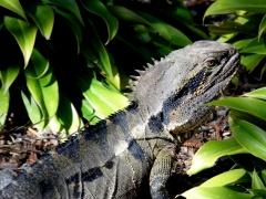 Eastern water dragon lizard, Roma Street parklands, Brisbane, Australia