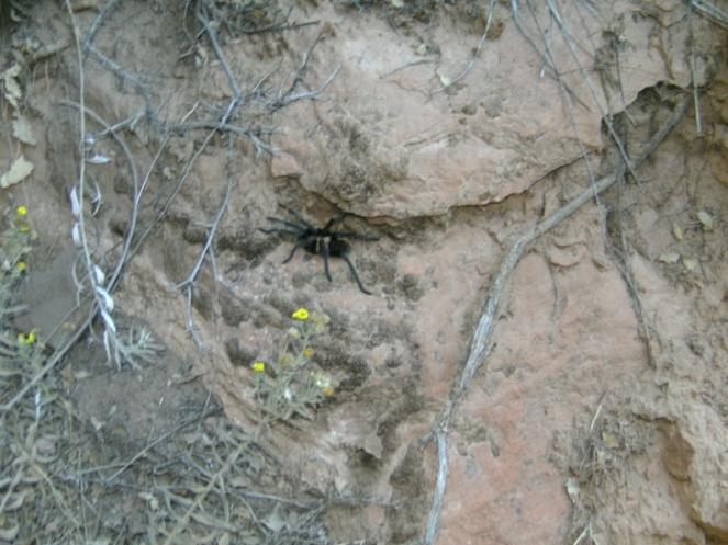 Tarantula, Zion National Park hike, USA