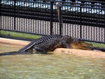 Australia Zoo crocodile show