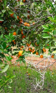 Mandarin picking, farm work, fruit picking, backpacker, working holiday visa, Mildura, Australia