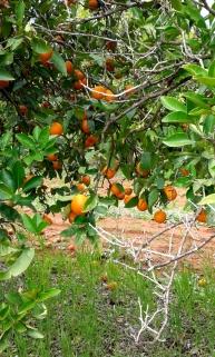 Mandarin picking, farm work, fruit picking, backpacker, working holiday visa, Mildura, Australia