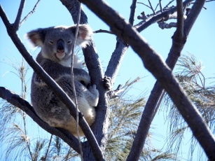 Koala, Noosa national park, Queensland, Australia