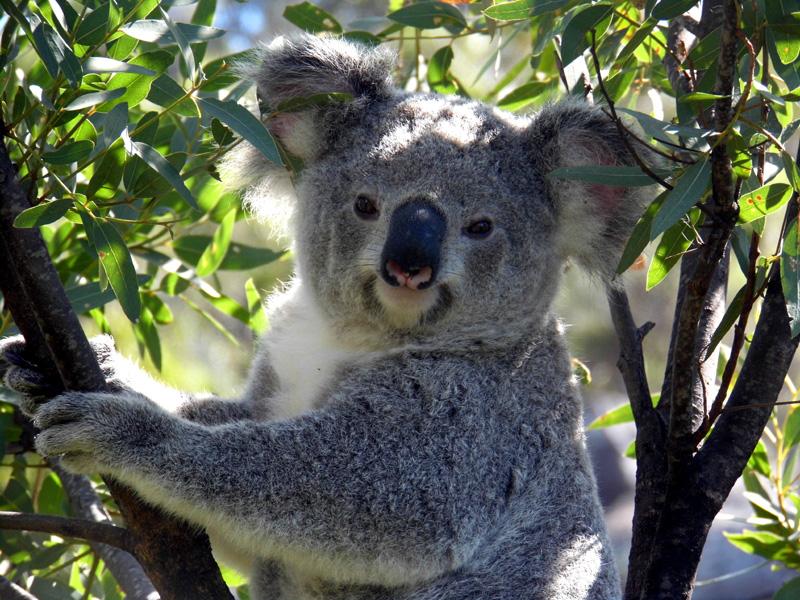 Wild koala, Magnetic Island, Australia