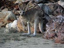 Kangaroo beach, Cape Hillsborough, Mackay, Australia