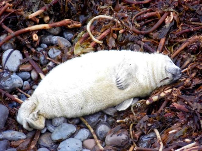 Seal, South Ronaldsay, Orkney