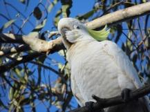 cockatoo tree, australia