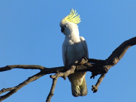cockatoo australia tropical bird