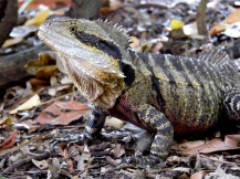 eastern water dragon lizard, australia, brisbane