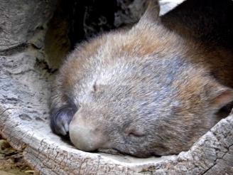 wombat, lone pine, sanctuary, australia