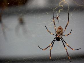 golden orb spider, brisbane, queensland, australia