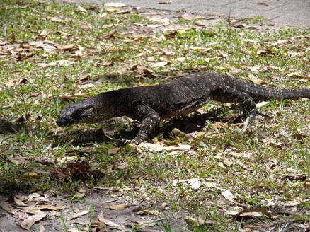 monitor lizard, noosa, queensland, australia