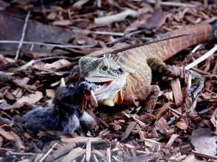eastern water dragon lizard eating a mouse, brisbane, australia