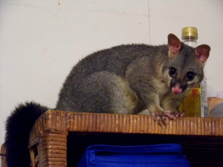 brush-tailed possum, brisbane, australia, queensland
