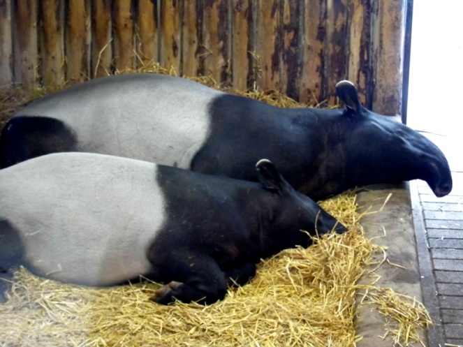 tapirs, edinburgh zoo