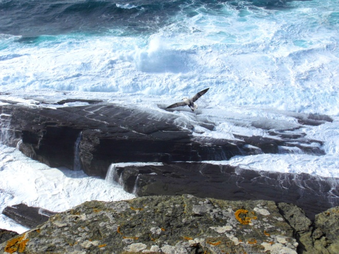 brough of birsay, orkney, scotland, island, cliffs, bird