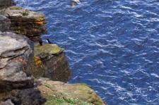 Puffins, Birsay, Orkney, Scotland