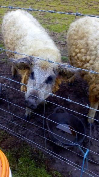 Woolly Mangalitza pigs, Orkney, Scotland