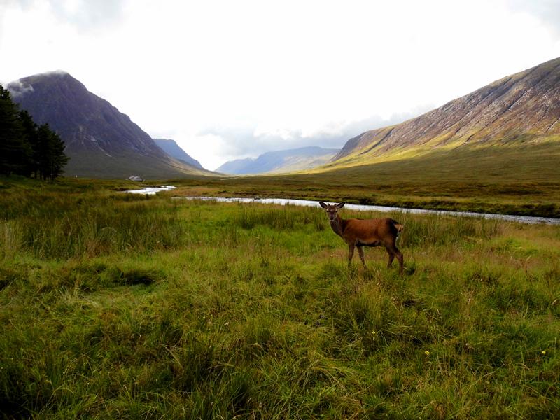 Deer at King's House Hotel, Glencoe mountains, Scotland
