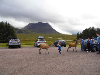 Deer at our campsite, Glencoe, Scotland