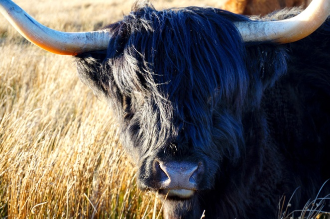 Black Highland cow, Orkney, Scotland