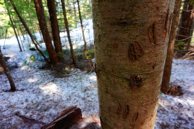 BEAR CLAWS! Whistler, Canada