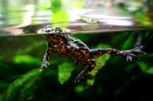 Frog, Vancouver Aquarium, Vancouver, Canada