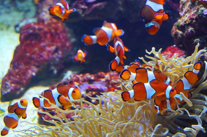Nemo, Vancouver Aquarium, Vancouver, Canada