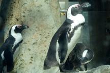 Penguins, Vancouver Aquarium, Vancouver, Canada