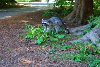 Raccoon, Stanley Park, Vancouver, Canada