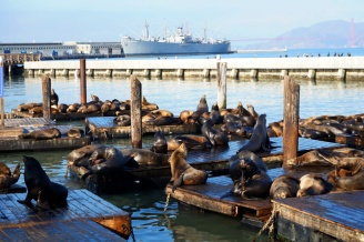 Sea lions, Pier 39, Fisherman's Wharf, San Francisco
