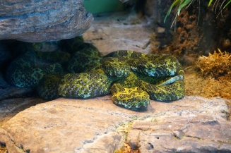 Snakes, pit vipers, San Diego Zoo, USA