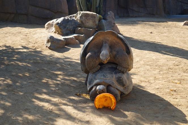Giant tortoises, San Diego Zoo, USA