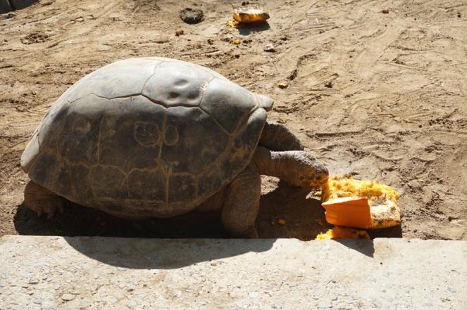 Giant tortoise, San Diego Zoo, USA
