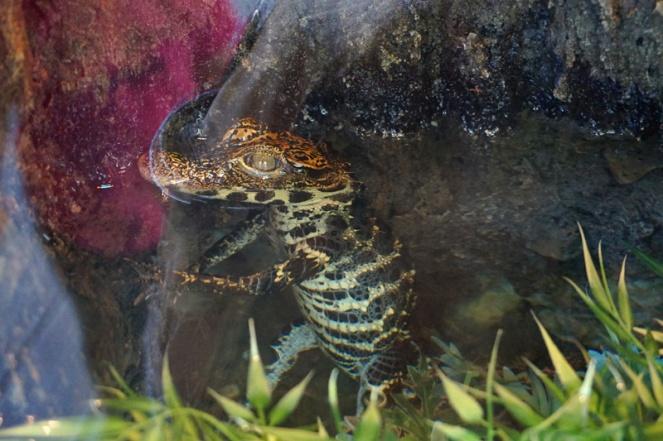 Tiny crocodile, San Diego Zoo, USA