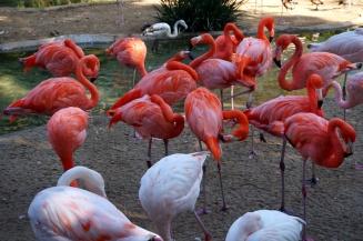 Flamingoes, San Diego Zoo, USA