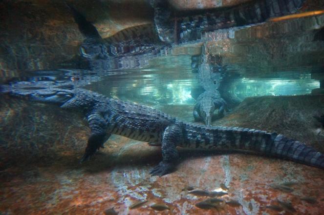 Crocodile, San Diego Zoo, USA