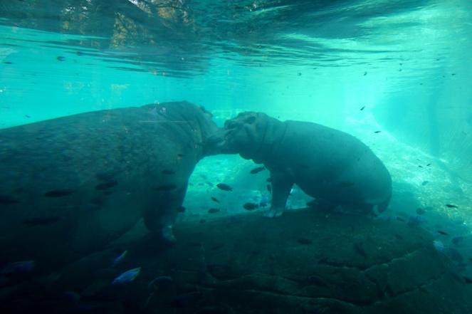 Hippo, San Diego Zoo, USA