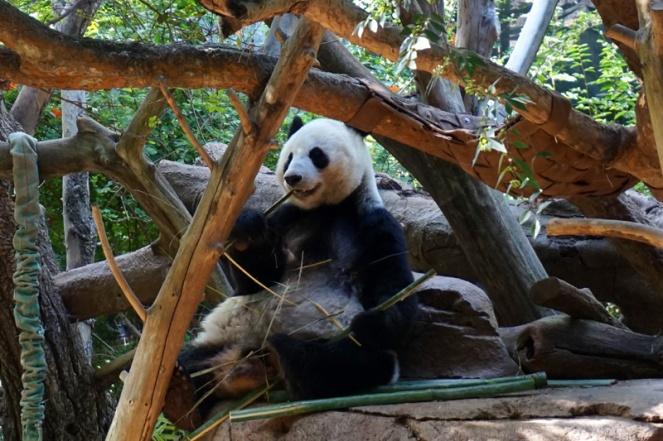 Panda, San Diego Zoo, USA