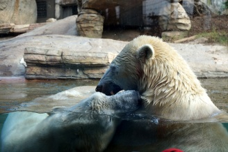 Polar bears, San Diego Zoo, USA