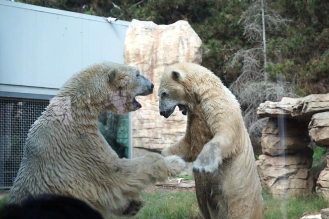 Polar bears, San Diego Zoo, USA