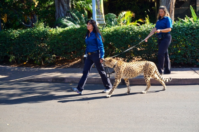 Just taking my cheetah for a walk, San Diego Zoo, USA