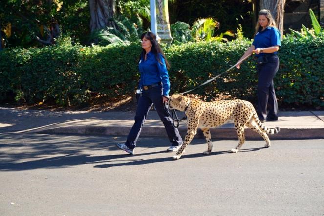 Just taking my cheetah for a walk, San Diego Zoo, USA