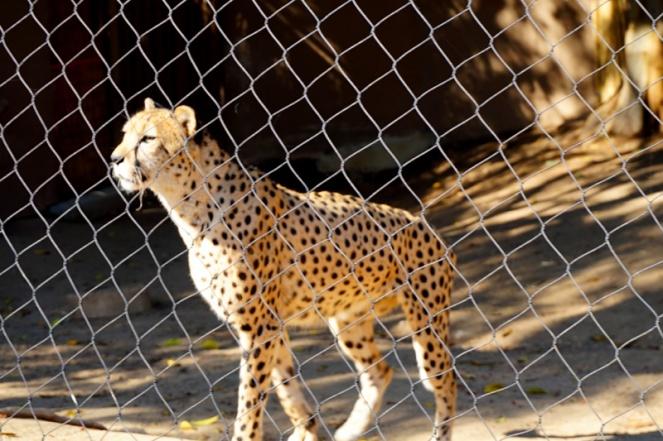 Cheetah, San Diego Zoo, USA