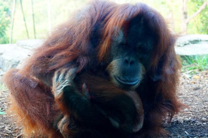 Orangutan, San Diego Zoo, USA