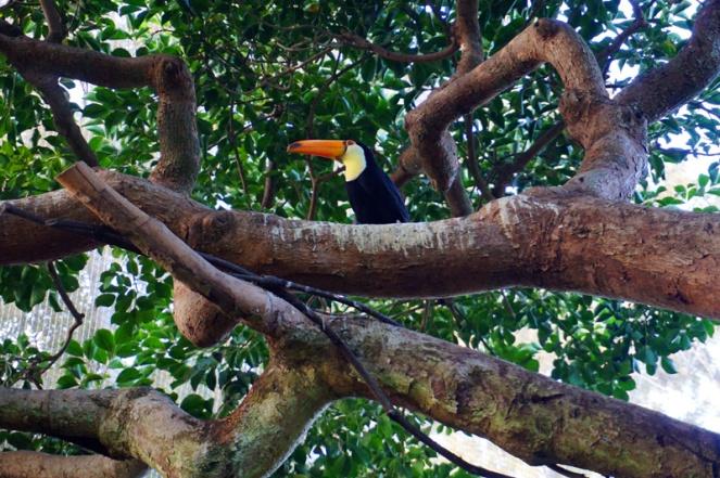 Toucan, San Diego Zoo, USA