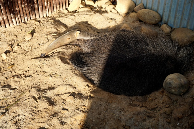 Anteater, San Diego Zoo, USA